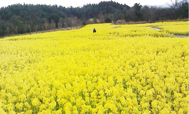 菜の花畑_札幌