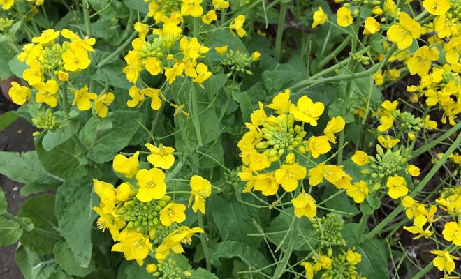 1803名古屋コラム菜の花