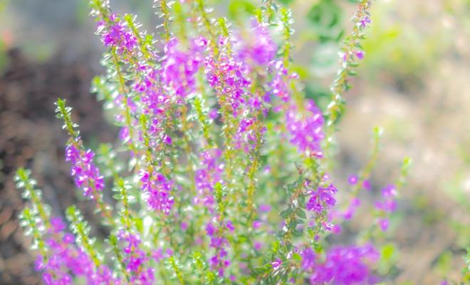 赤紫の花の写真