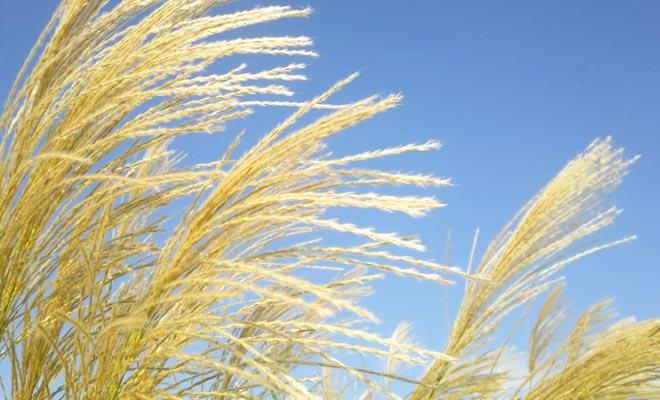 秋晴れの空とススキの写真
